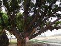 Jackfruit Tree.JPG