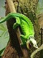Jackson's Chameleon CAS 2.JPG