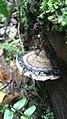 Jamur liar ganoderma tangkupan perahu.jpg
