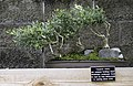 Japanese Garden Yaupon Holly Bonsai NBG LR.jpg
