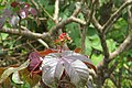 Jatropha gossypiifolia - Bellyache Bush - at Beechanahalli 2014 (12).jpg