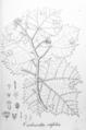 Jatropha vitifolia Pohl52.png