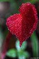 Javan Rhubarb (5908140371).jpg