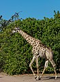 Jirafa (Giraffa camelopardalis), parque nacional de Chobe, Botsuana, 2018-07-28, DD 44.jpg