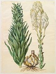 Lilium candidum monstrosum