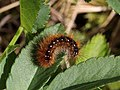 Johnsbach - Nationalpark Gesäuse - Raupe des Schmetterlings Brauner Bär (Arctia caja).jpg