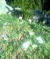 Jordaaniella anemoniflora with Aloe juddii.jpg