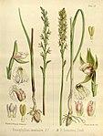 Joseph Dalton Hooker - Flora Antarctica - vol. 3 pt. 2 plate 110 (1860).jpg