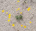 Joshua Tree National Park flowers - Eschscholzia parishii - 1.JPG