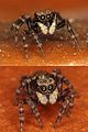 Jumping House Spiders (2867584094).jpg