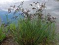 JuncusArticulatus.jpg