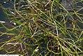 Juncus effusus Spiralis 1zz.jpg