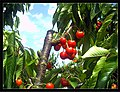June Flower ^ Cherry Farming Endingen Kaiserstuhl - Master Seasons Rhine Valley Photography 2013 Banana and Coconut Trades South Sea Delivery - panoramio.jpg