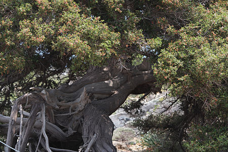 JuniperusElafonisi2(js).jpg