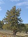 Juniperus excelsa - Greek juniper 04.jpg