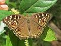 Junonia lemonias - Lemon Pansy 26.jpg