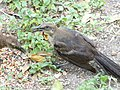Juvenile Great-Tailed Grackle 2.jpg