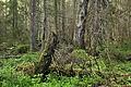 Kõrvemaa mets.jpg