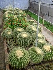 Cacti grown in Kalimpong.