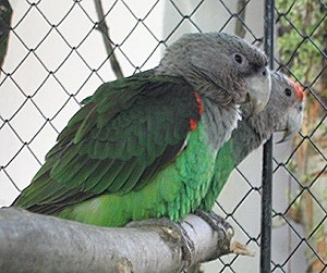 Brown-necked parrot - A grey-headed parrot (Poicephalus fuscicollis suahelicus)