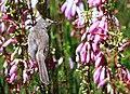 Karoo Prinia (Spotted Prinia) (8419592018).jpg