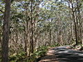 Karri forest.jpg