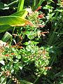Keckiella cordifolia (21388884550).jpg
