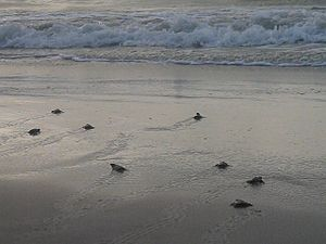 Padre Island National Seashore - A public release of Kemp's ridley sea turtle hatchlings at PAIS