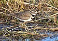 Killdeer on Seedskadee National Wildlife Refuge (41674783361).jpg