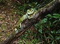 Kinabalu Crested Dragon (Hypsicalotes kinabaluensis) male (6679646239).jpg