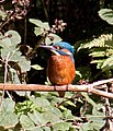Kingfisher 1 (3950236219).jpg