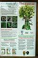 Kisulabeko haritza Kartela Jaunsarats-en 01.jpg