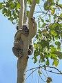 Koala Bär bear Australien (23139650591).jpg