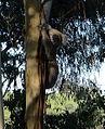 Koala Stevage.jpeg