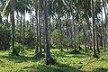Koh Mak (island), Thailand, Coconut palm plantation.jpg