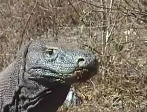 File:Komodo dragons video 2 Part 1.ogv