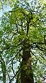 Korina 2010-04-26 Aesculus hippocastanum 1.jpg