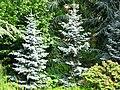 L'épicéa bleu du Colorado de Koster - Picea pungens 'Kosteriana Glauca'.JPG