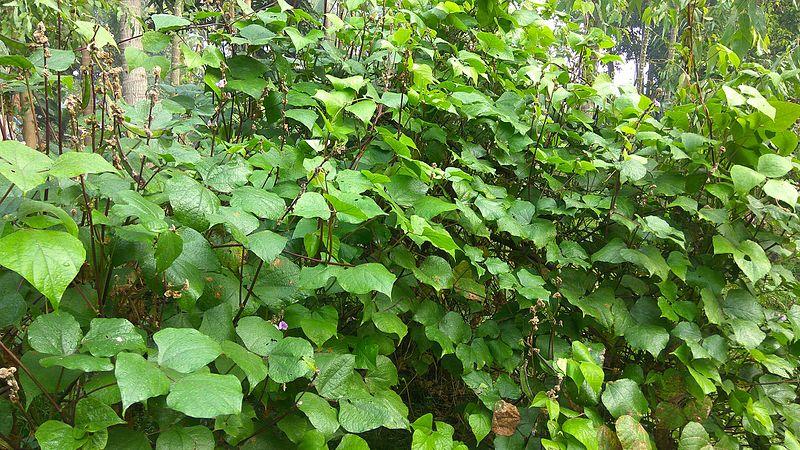 File:Lablab purpureus plant & flowers 18.jpg