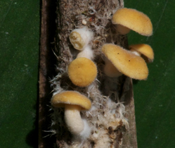 Picture showing small, laterally striped mushrooms on a mat of mycelium developing at the stem of a leaf