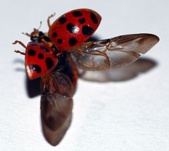 Lady beetle taking flight.jpg
