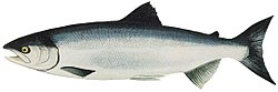 Lake Washington Ship Canal Fish Ladder pamphlet - ocean phase Sockeye.jpg