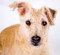 Lakeland Terrier2.jpg