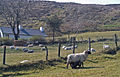 Lambing time near Slieve Croob - geograph.org.uk - 393729.jpg