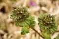 Lamium amplexicaule - Flickr - aspidoscelis.jpg