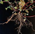 Lamium amplexicaule root.JPG