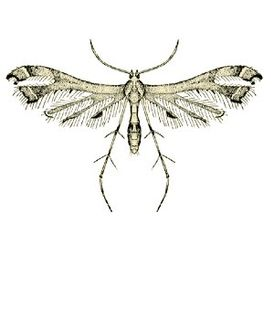 <i>Lantanophaga pusillidactyla</i> species of insect