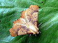 Large Thorn (8046331082).jpg