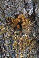 Larix decidua Harzausfluss.jpg
