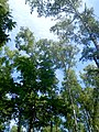 Las brzozowy w letniej szacie - panoramio (5).jpg